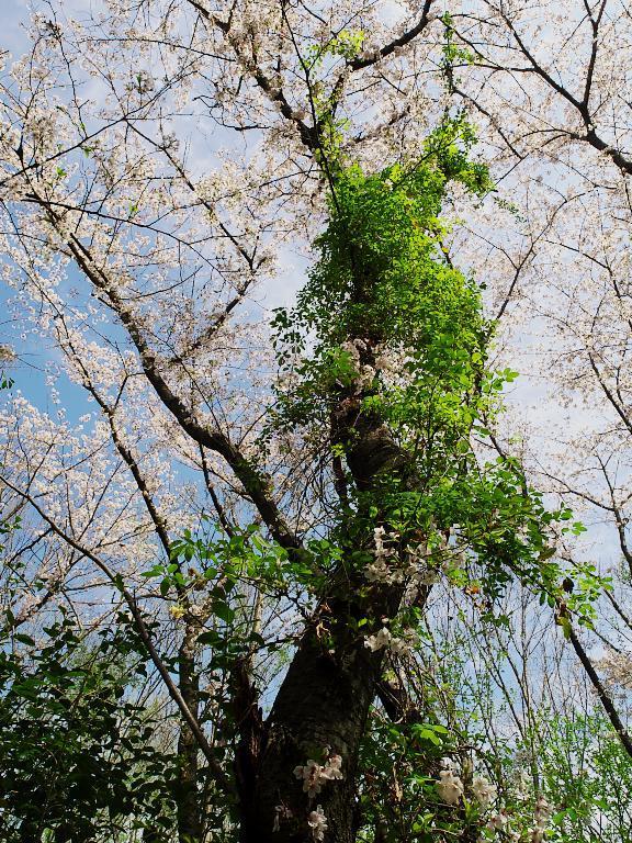 桜満開 その2:まとわりつく緑_d0087407_17075019.jpg