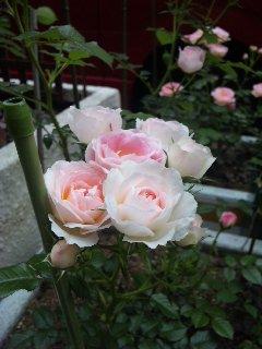 blog:バラとくちなし_a0103940_657401.jpg