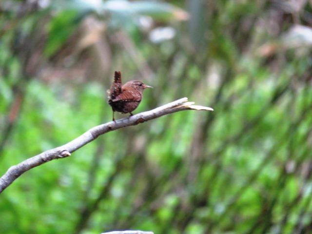 野鳥トレ  16 若杉原生林_b0227552_11312564.jpg