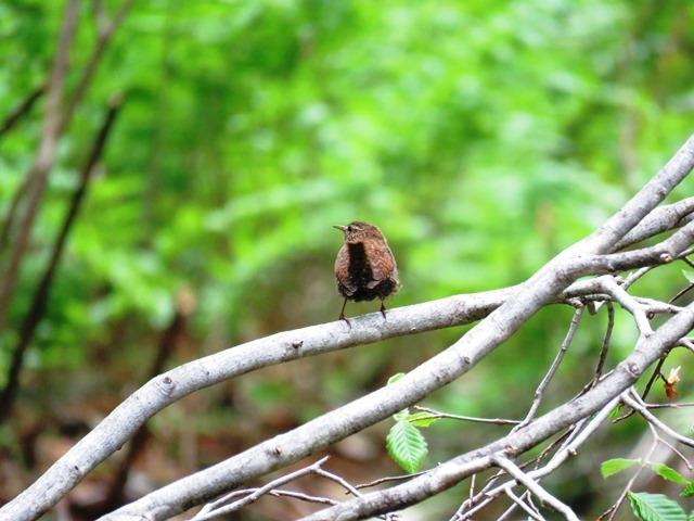 野鳥トレ  16 若杉原生林_b0227552_11313932.jpg