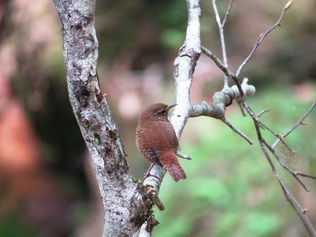 野鳥トレ  16 若杉原生林_b0227552_11314993.jpg