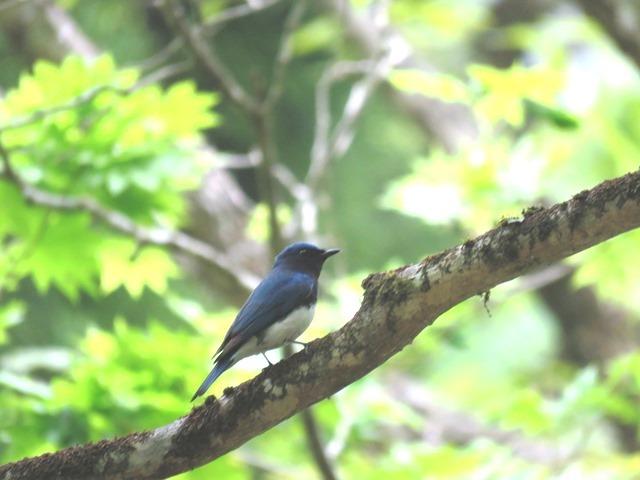 野鳥トレ  16 若杉原生林_b0227552_11344703.jpg