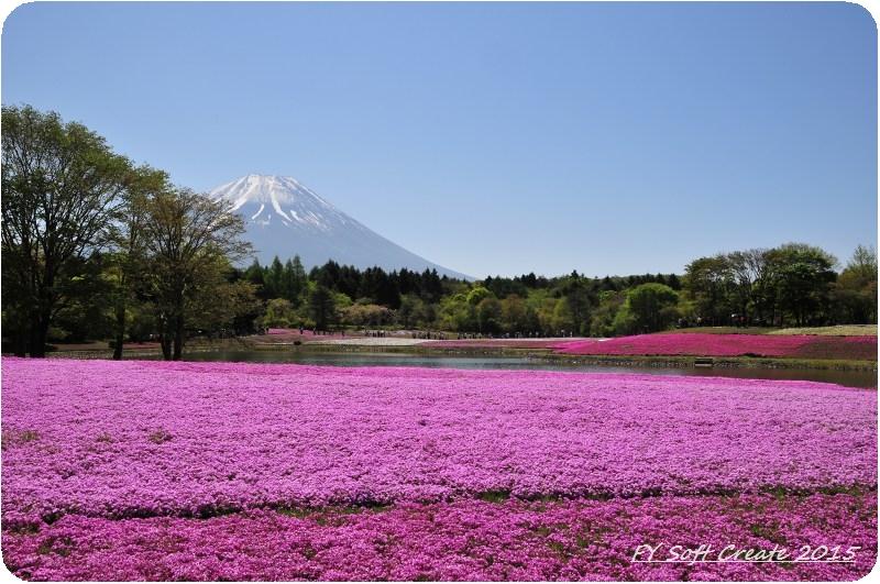 ◆ 1週間遅れのゴールデンウィーク、その1 「富士芝桜まつり」へ (2015年5月)_d0316868_929485.jpg