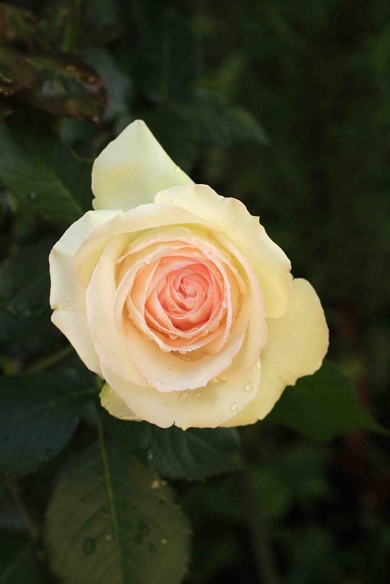 庭の薔薇 南ー03  ~ブラン・ピエール・ドゥ・ロンサール~_a0107574_20402237.jpg