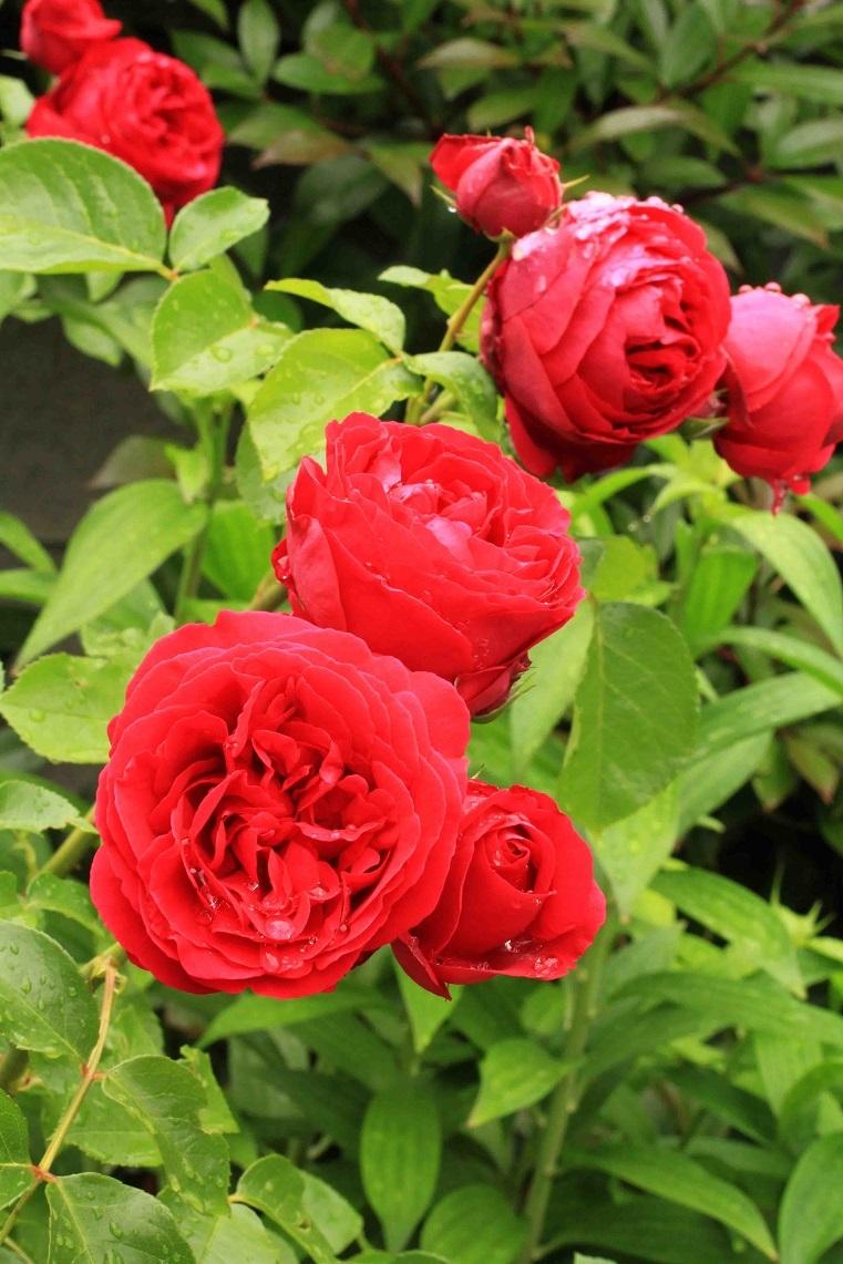 庭の薔薇 西ー05  ~ルージュ・ピエール・ドゥ・ロンサール~_a0107574_20494026.jpg