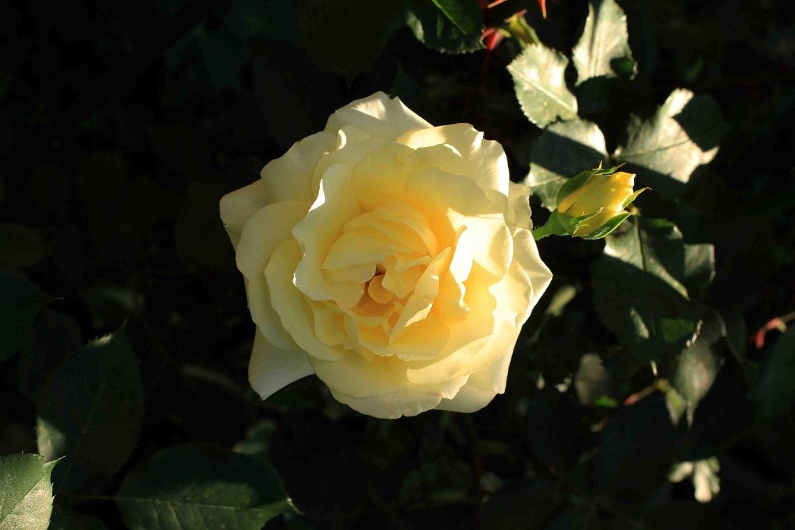 庭の薔薇 東ー05 ~カスク・ドール~_a0107574_21072066.jpg