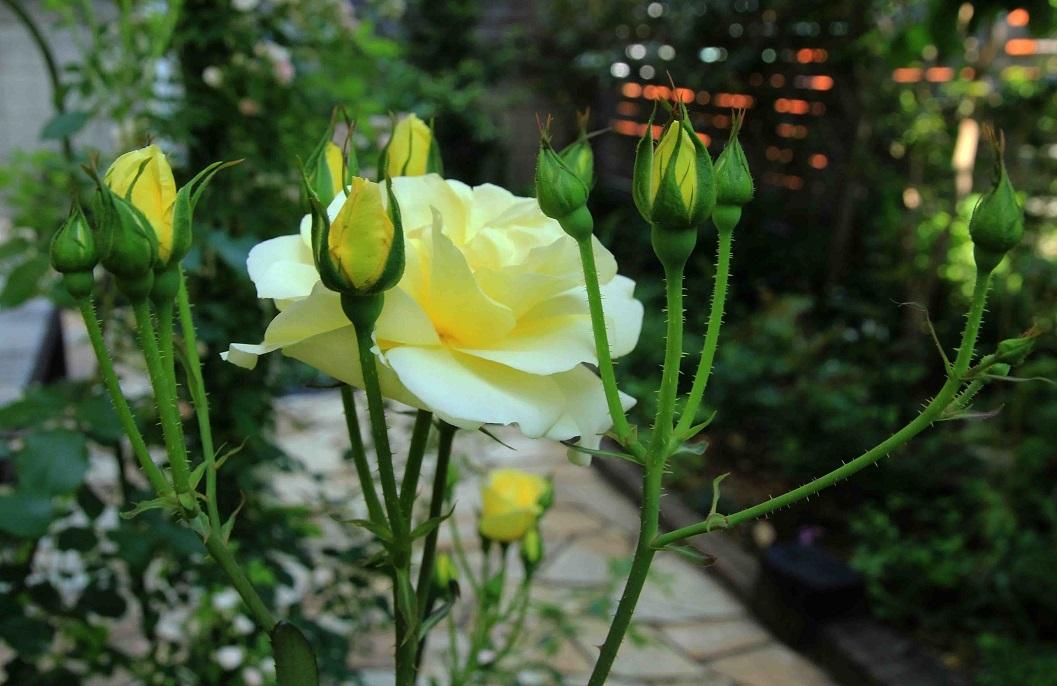 庭の薔薇 東ー05 ~カスク・ドール~_a0107574_21540356.jpg
