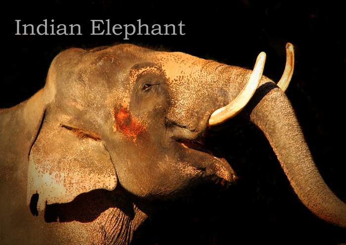 インドゾウ:Indian Elephant_b0249597_5273098.jpg