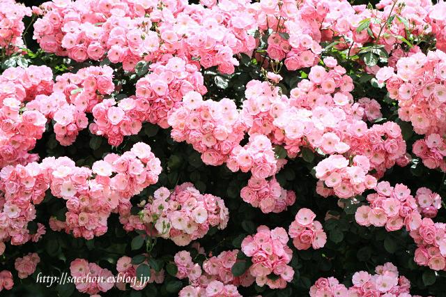 バラ咲くお庭_a0020615_23303458.jpg