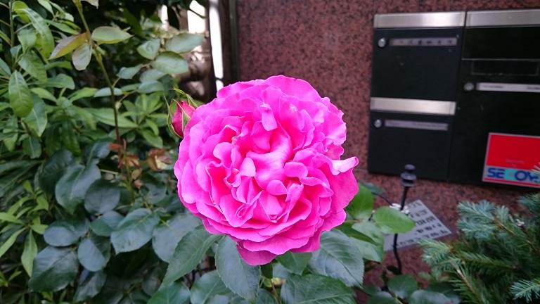 バラは愉し_d0155439_1736535.jpg