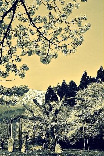 クロス~釜の越桜~プロセス_b0314043_11355397.jpg