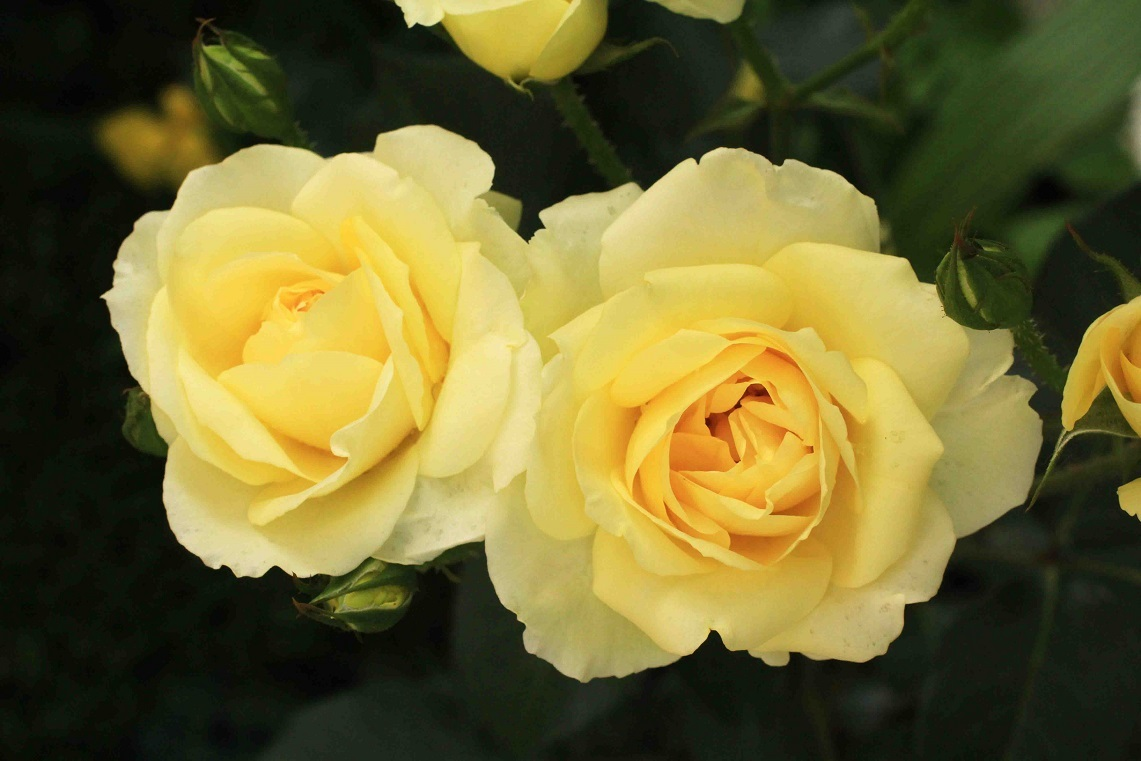 庭の薔薇 東ー05 ~カスク・ドール~_a0107574_16180160.jpg