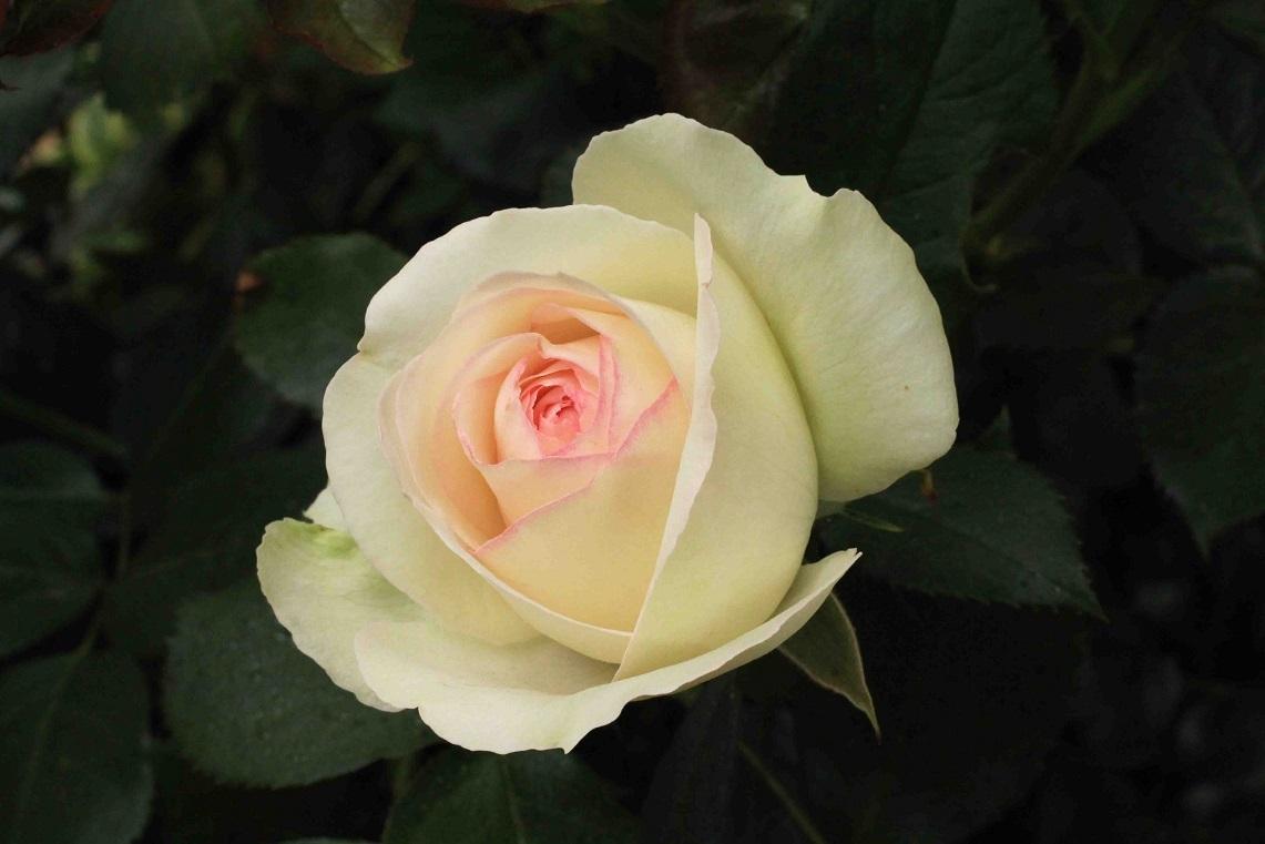 庭の薔薇 南ー03  ~ブラン・ピエール・ドゥ・ロンサール~_a0107574_16571352.jpg