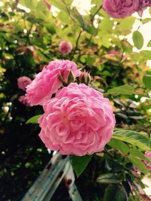 2015.0518 バラが咲いてました。_a0145471_1081543.jpg