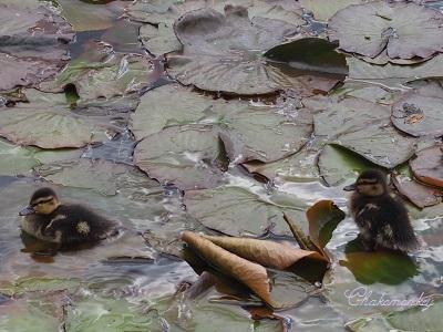 Osterley ParkのEnglish Bluebell_f0238789_19135100.jpg