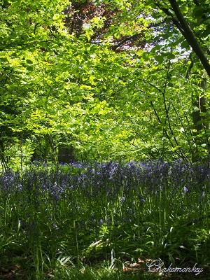 Osterley ParkのEnglish Bluebell_f0238789_19195650.jpg