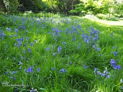 Osterley ParkのEnglish Bluebell_f0238789_1983930.jpg
