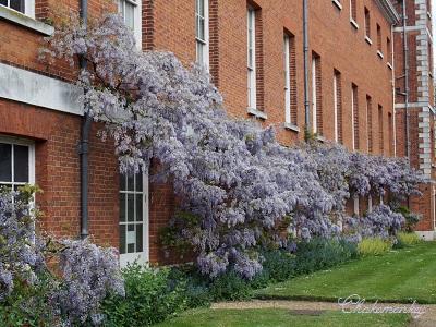 Osterley ParkのEnglish Bluebell_f0238789_198654.jpg