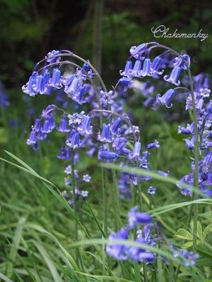 Osterley ParkのEnglish Bluebell_f0238789_1991273.jpg