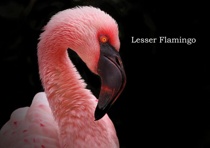 コフラミンゴ:Lesser Flamingo_b0249597_15333185.jpg