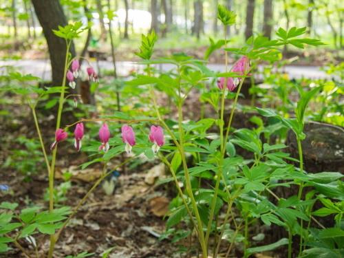 新緑の美しい5月・・春の花が次々と咲いてきました。_f0276498_23531466.jpg