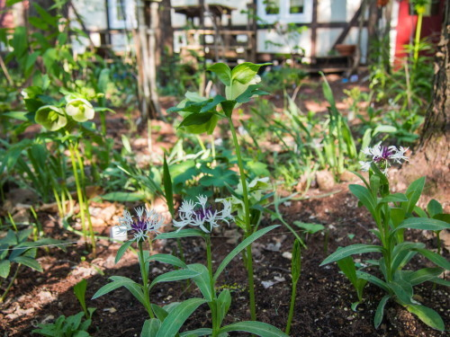 新緑の美しい5月・・春の花が次々と咲いてきました。_f0276498_23541342.jpg