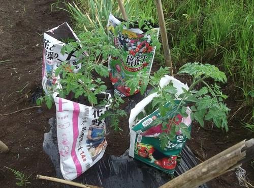 夏野菜に実が...トマト、キューリの受粉!_b0137932_15162739.jpg