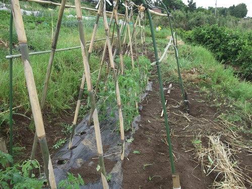 夏野菜に実が...トマト、キューリの受粉!_b0137932_15165753.jpg