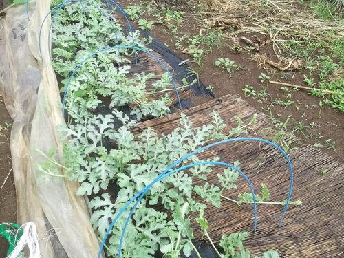 夏野菜に実が...トマト、キューリの受粉!_b0137932_15175861.jpg