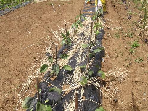 夏野菜に実が...トマト、キューリの受粉!_b0137932_15191163.jpg