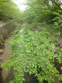 Shakujii Riverその1  新緑×紫陽花×スカイツリー!!_a0165160_07021088.jpg