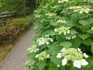 Shakujii Riverその1  新緑×紫陽花×スカイツリー!!_a0165160_07313903.jpg
