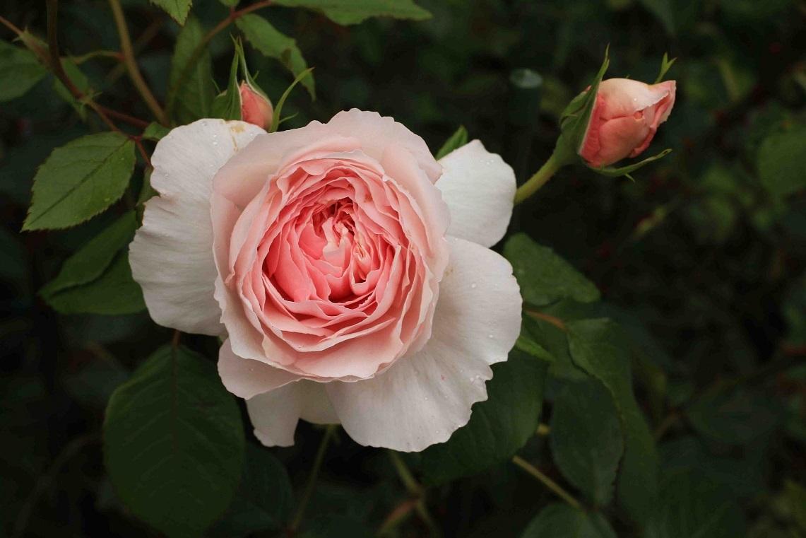庭の薔薇 北BOX-06  ~コテージ・ローズ~_a0107574_19544385.jpg
