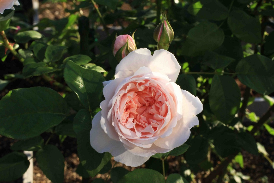 庭の薔薇 北BOX-06  ~コテージ・ローズ~_a0107574_19551016.jpg