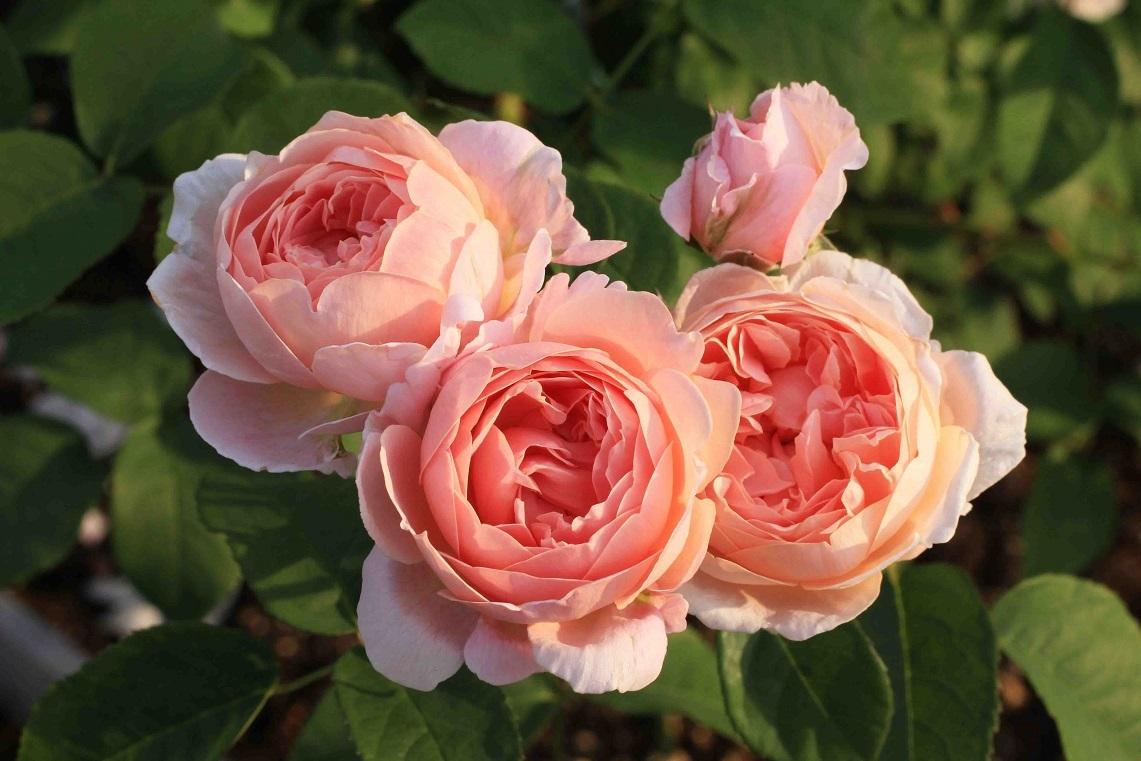 庭の薔薇 北BOX-06  ~コテージ・ローズ~_a0107574_19551720.jpg