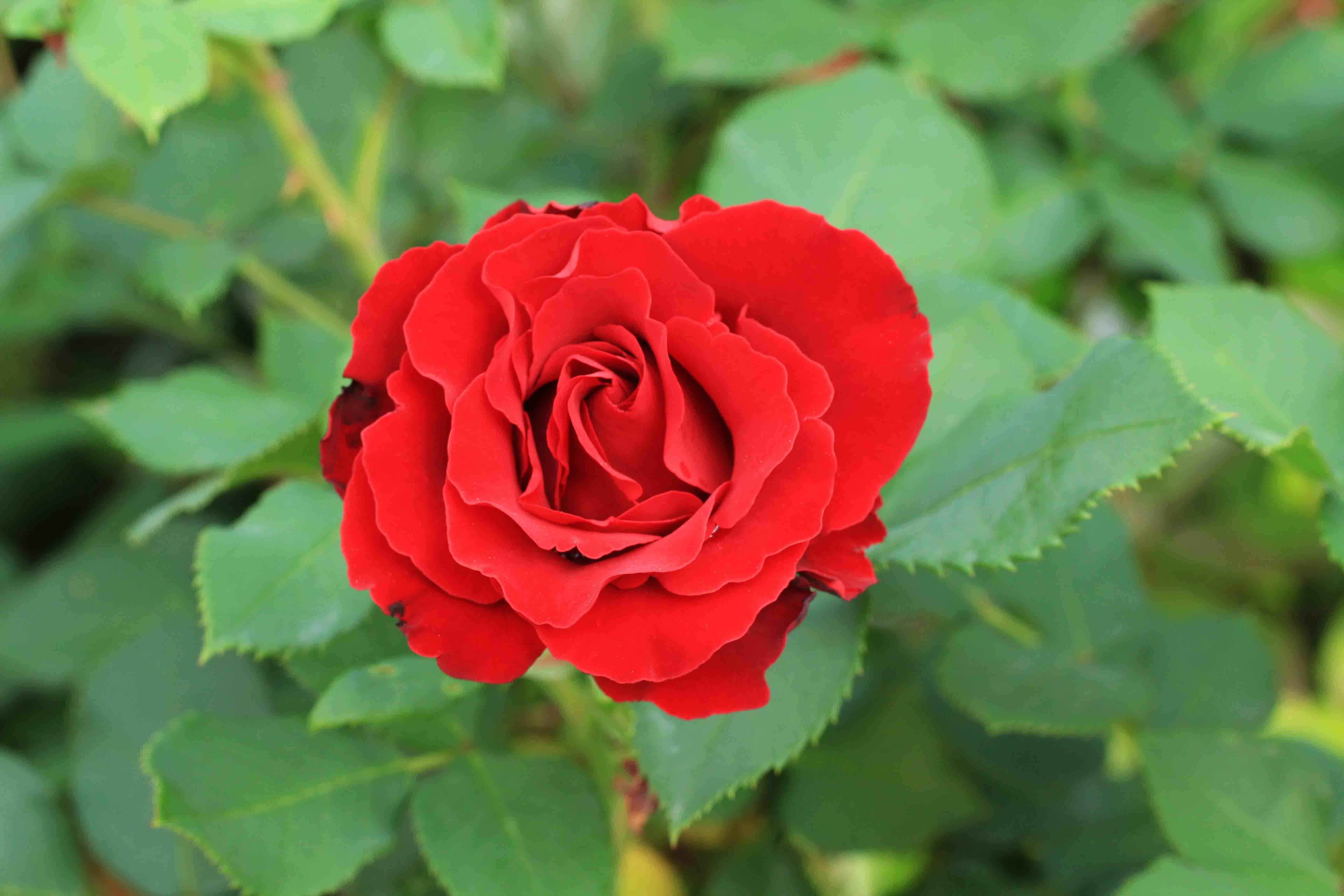 庭の薔薇 西ー04  ~雨上がりのオマージュ・ア・バルバラ~_a0107574_20185815.jpg