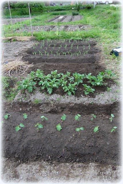 苗植え その2_c0057390_22563648.jpg