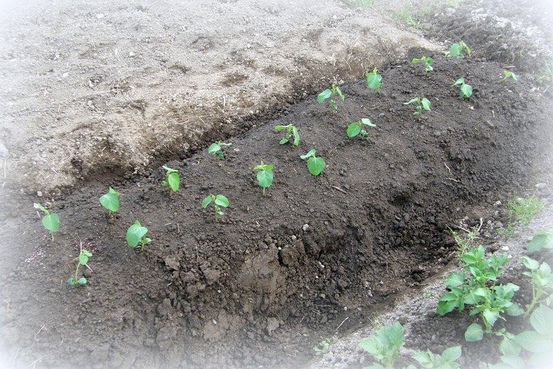 苗植え その2_c0057390_22565177.jpg