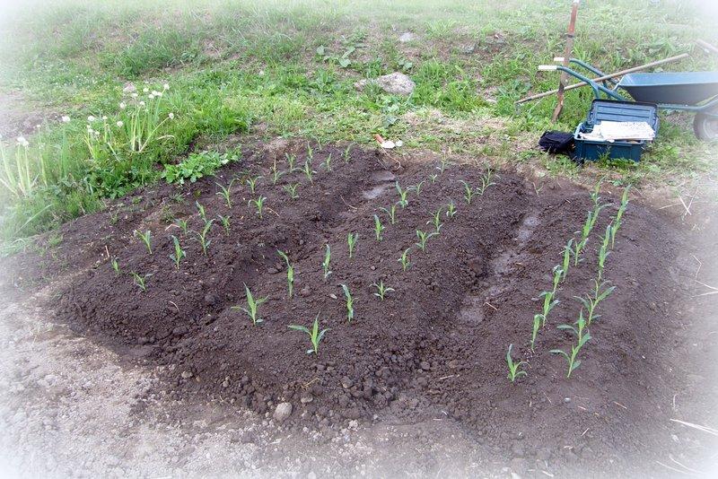 苗植え その2_c0057390_22565635.jpg