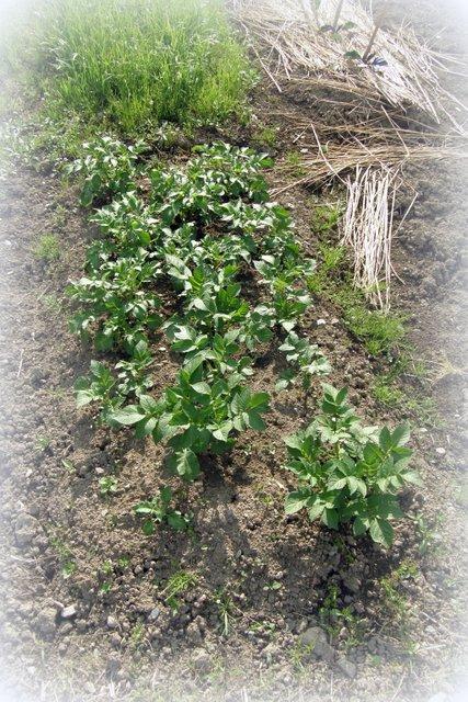 苗植え その2_c0057390_2257333.jpg