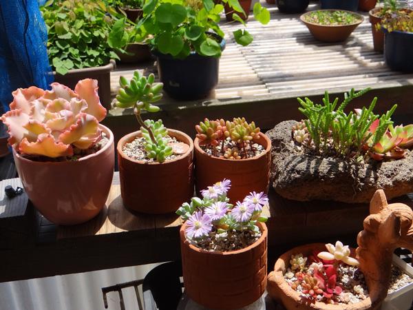 多肉植物、今年も山草棚へ。 小さなタブローと柳生真吾さんのことなど_a0136293_17323469.jpg