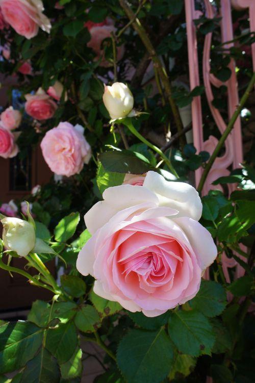 シチリアの初夏~テーブルコーディネート~ 薔薇も満開!_f0215714_16373447.jpg