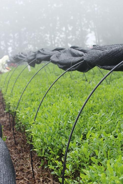 いしかわ製茶しもやま高原農場さんへ_b0220318_6245022.jpg