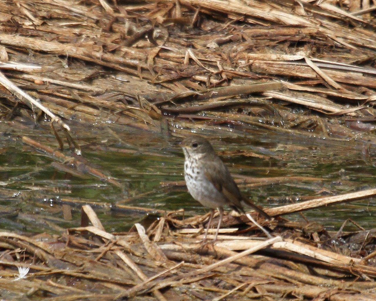 カリフォルニアで出逢った野鳥その9_f0105570_21433820.jpg