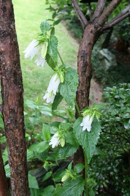 ホタルブクロが 咲きました。_f0229190_1630772.jpg