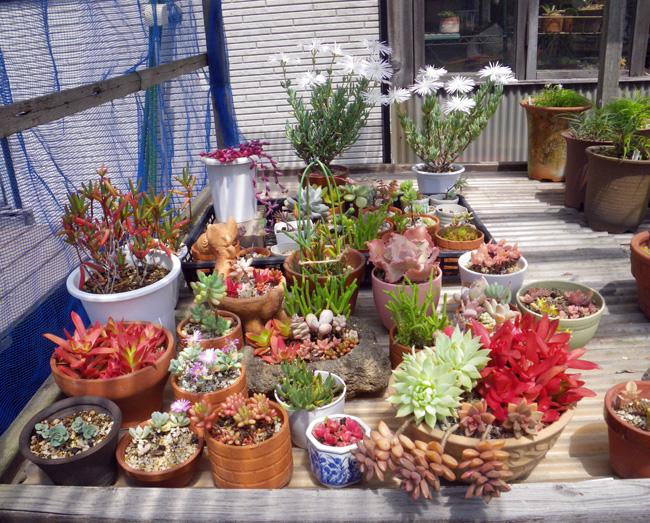 多肉植物、今年も山草棚へ。 小さなタブローと柳生真吾さんのことなど_a0136293_13572450.jpg