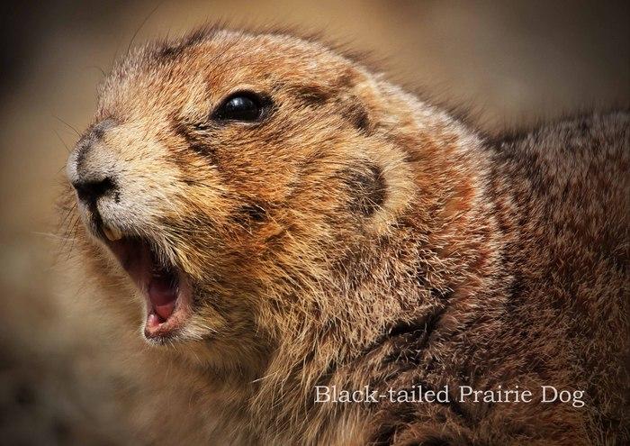 オグロプレーリードッグ:Black-tailed Prairie Dog_b0249597_5203368.jpg