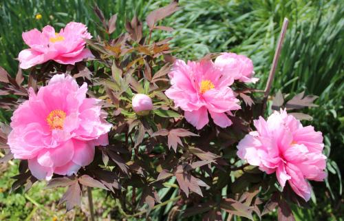 庭の牡丹_e0054299_10415113.jpg
