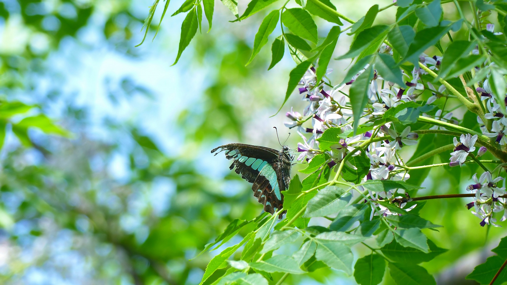 蝶と栴檀_a0185081_13484462.jpg