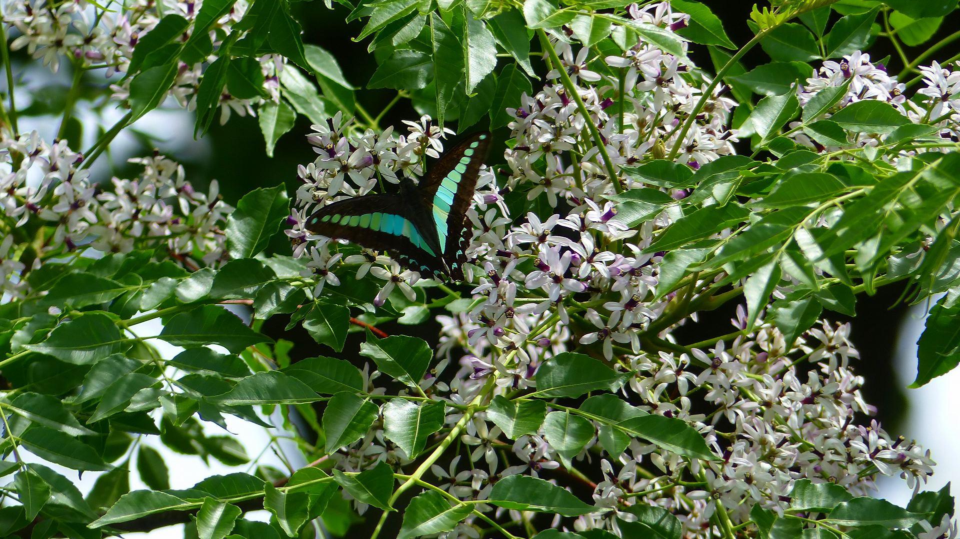 蝶と栴檀_a0185081_13485673.jpg